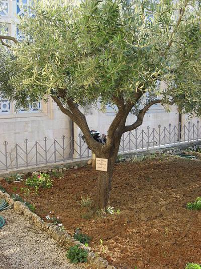 Captivating Olive Tree Planted In The Vatican Garden Photo Courtesy Of  Www.opendemocracy.net